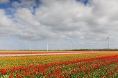 Постер, плакат: Tulip fields in Holland