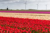 stock photo of windmills  - Tulip field with different colors of tulips and modern windmills for wind energy power and an ancient windmill in the background North Holland The Netherlands - JPG