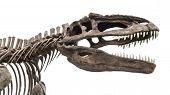 stock photo of tyrannosaurus  - dinosaur skeleton tyrannosaurus rex isolated on white background - JPG
