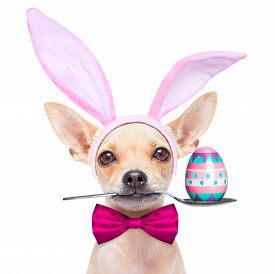 stock photo of bunny costume  - chihuahua dog dressed with bunny easter ears and a pink tie with egg on spoon isolated on white background - JPG