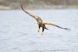 pic of fish-eagle  - White - JPG