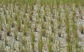 foto of dune grass  - Rows of grass planted in sand dunes at the beach to protect from erosion - JPG