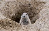 picture of prairie  - Prairie dog checking out entrance to a hole - JPG