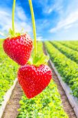 picture of strawberry plant  - Close up shot strawberry with planting strawberry background - JPG