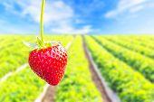 stock photo of strawberry plant  - Close up shot strawberry with planting strawberry background - JPG