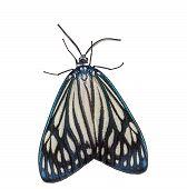 foto of moth  - Isolated female Drury - JPG