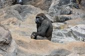 picture of gorilla  - Picture of a Strong Adult Black Gorilla - JPG
