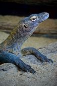 stock photo of zoo  - lizard zoo animal reptile  gray brown black