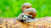 stock photo of struggle  - Grape snails struggling with each other on the beam - JPG