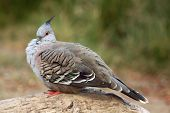 picture of pigeon  - Crested pigeon  - JPG