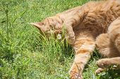 stock photo of tabby-cat  - cute red tabby cat playing with a daisy - JPG