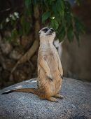 pic of zoo  - Standing Meerkat in Khao Kheow Open Zoo - JPG