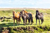 pic of iceland farm  - Horses in a green field of grass at Iceland Rural landscape - JPG