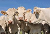 pic of calf cow  - portrait of Charolais cows and calves affectionate - JPG