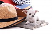 stock photo of dog clothes  - Adorable chihuahua dog and suitcase with clothing close up - JPG