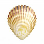 picture of scallops  - River scallop generated texture on white background - JPG