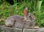 image of wild-rabbit  - Wild baby rabbit resting on stone wall among the grasses - JPG