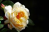 image of rosa  - A yellow rose  - JPG