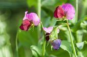 stock photo of sweet pea  - Photo flowering of sweet pea closeup outdoors - JPG