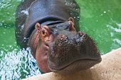image of zoo  - Adult hippo swimming in a zoo pool - JPG