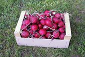image of radish  - Red radishes in a wooden box on the grass - JPG