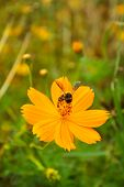 picture of cosmos flowers  - yellow cosmos flower with bee in the garden - JPG