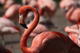 stock photo of pink flamingos  - Caribbean flamingo  - JPG