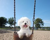 Happy Dog On Park Swing