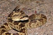 stock photo of blacktail  - A beautiful golden colored blacktail rattlesnake is coiled in a defensive strike position - JPG
