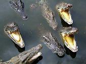 Crocodilos vorazes