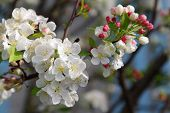 Branch Of Blooming Tree