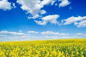 Постер, плакат: Желтые цветы на поле весной