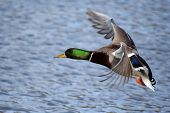 stock photo of duck-hunting  - Greenhead Mallard Duck coming in for a landing - JPG