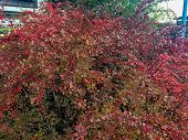 Bush With Red Berries, Dense Crimson Bush With A Lot Of Autumn Berries poster