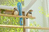 Two Male Finches