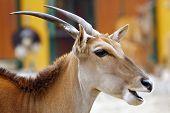 Eland Antelope chewing
