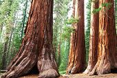 menina no coto gigante no Sequoia National Park, nos EUA