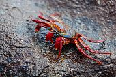 stock photo of crustations  - A Sally lightfoot crab expelling salt water from his exoskeleton - JPG