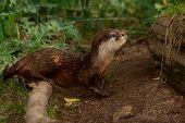 Otter - 9