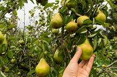 Hand Picking Organic Pears From Orchard -pov poster