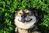 -cute Dog Lying On Lush Green Grass With Closed Eyes From Pleasure Funny poster