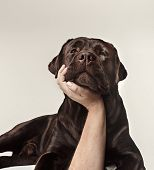 Close-up Crying Dog Face Of Chocolate Labrador Isolated On White Background. Emotions Of Animals Con poster