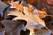Fallen autumn frozen leaves
