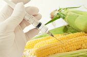 stock photo of sweet-corn  - Sweet corn in genetic engineering laboratory gmo food concept - JPG