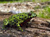 Far-Eastern Fire-Bellied Toad