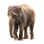 Elephant White Background