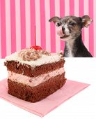 Dog Staring At Cherry Chocolate Cake