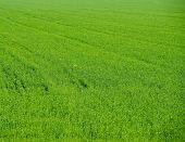 Das grüne Feld.