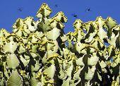 Euphorbia Cooperi Bushveld Candelabra
