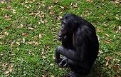 Female Chimpanzee